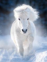 white fluffy shetland pony runs free in winter meadow