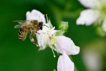 Bee on white blackberry flower.