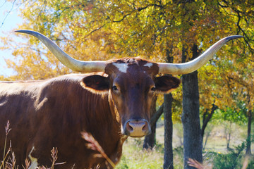 Wall Mural - Texas longhorn cow portrait with fall foliage in background on cattle ranch.