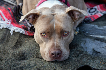 Adorable Closeup picture of a Cute Dog, Pit Bull, laying on the beach during summer evening. Taken in Vancouver Island, BC, Canada.