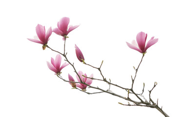 Photo sur Aluminium Magnolia magnolia flower spring branch isolated on white background