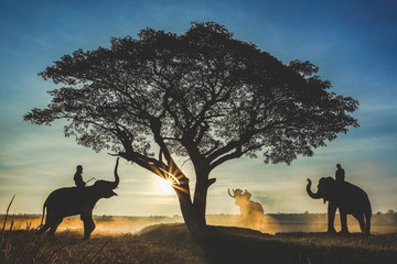 The elephant caravan stands around a large tree. In the morning with warm light in the middle of the field with smog. The way of life and culture of indigenous people living in Asian.