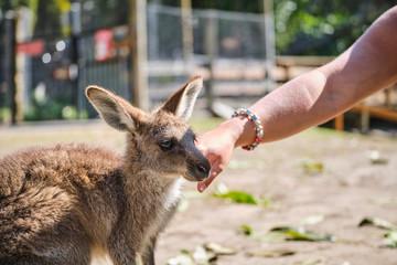 Foto op Aluminium Kangoeroe Woman petting baby Kangaroo Joey at wildlife sanctuary