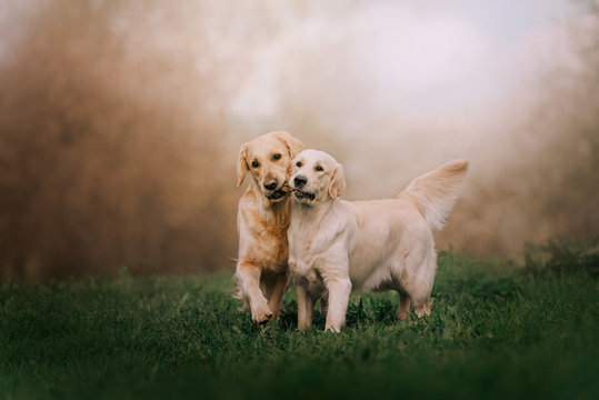 Two Golden retriever dogs running with stick