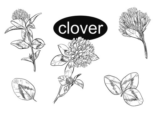 Hand drawn vector illustration set of clover, leaf. Black and white sketch. Painting isolated flowers.