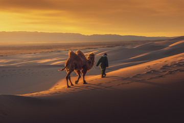 Camel going through the sand dunes on sunrise, Gobi desert Mongolia.