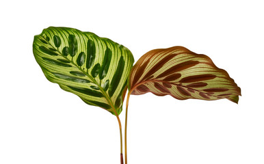 Calathea makoyana foliage, Peacock plant or cathedral windows, Exotic tropical leaf, isolated on...