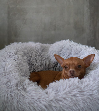 Small cute ginger pinscher relaxing in his fluffy bed