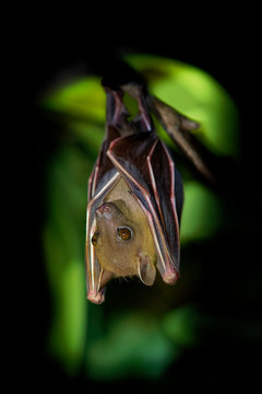 Lesser Short-nosed Fruit Bat - Cynopterus brachyotis  species of megabat within the family Pteropodidae, small bat during night that lives in South and Southeast Asia and Indonesia, Borneo