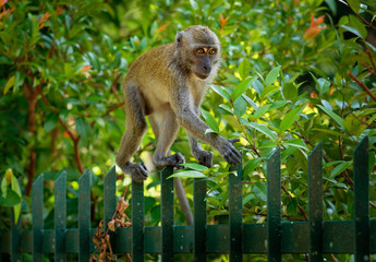 Garden pet - Long-tailed Macaque - Macaca fascicularis also known as crab-eating macaque, a cercopithecine primate native to Southeast Asia, is referred to as the cynomolgus monkey
