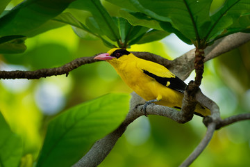 Black-naped oriole - Oriolus chinensis passerine bird in the oriole family that is found in many parts of Asia