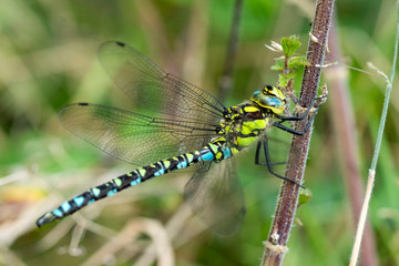 Southern Hawker Dragonfly ( Aeshna cyanea) male in Autumn