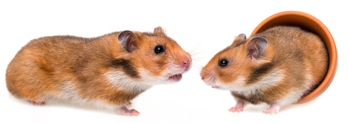 little hamsters isolated on white background