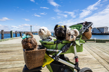 Funny small Dogs in a stroller