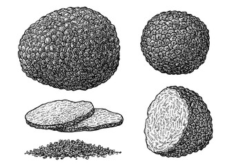 Truffle illustration, drawing, engraving, ink, line art, vector