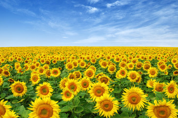 Foto op Canvas Meloen Sunflowers field on sky