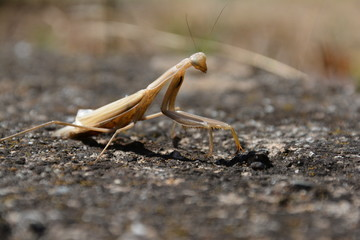 Mantis photo and picture for desktop