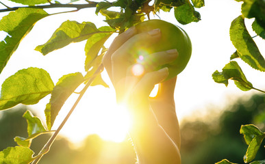 Woman hand picks apple from a tree, bright rays of the sun