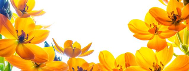 Obraz Tło z wolną przestrzenią otoczoną z trzech stron kwiatami. Żółte kwiaty na białym tle. - fototapety do salonu