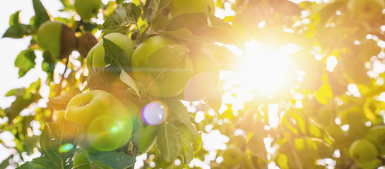 apples on apple tree branch, bright rays of the sun, copyspace for your individual text, banner size