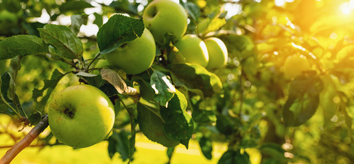 Ripe green apples on the tree, copyspace for your individual text.