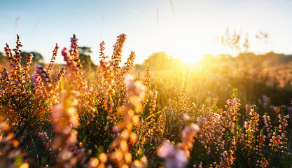 Canvas Prints Honey Natural background with small pink-lilac Heather flowers or Calluna vulgaris flowers at sunset. Soft focus.