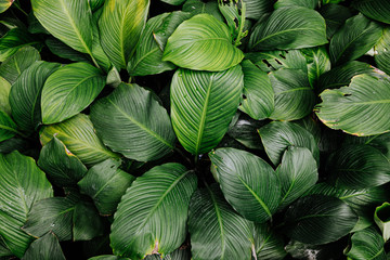 tropical leaf texture green leaves Background, foliage nature Wall mural