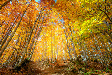 Autumn Fall scene in the forest with colorful leaves on tall trees