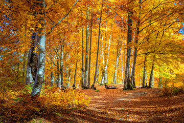 Autumn landscape - Warm Sunny day in Autumnal forest, yellow orange trees
