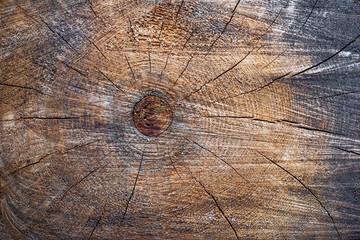 Acrylic Prints A large tree trunk, old stump.