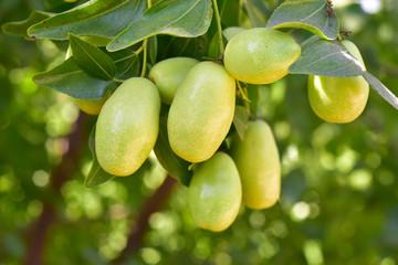 Jujube jojoba plant tree