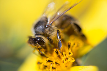 Honey Bee on a yellow flower collecting Pollen. Closeup of a wild Bee