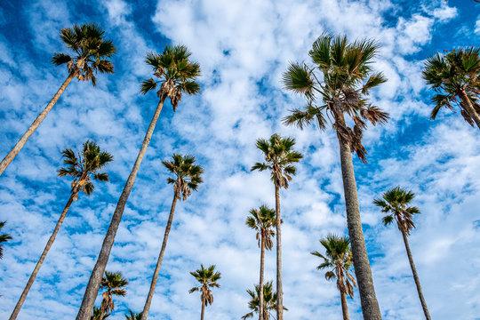 宮崎の観光地青島にそびえ立つヤシの木2