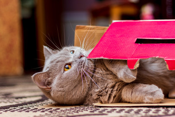 British Shorthair cat is playing with a box in which lies. The cat smells the box and plays with it, chews.