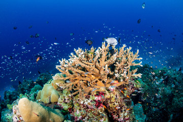 Keuken foto achterwand Koraalriffen Tropical fish swimming around a healthy, colorful coral reef