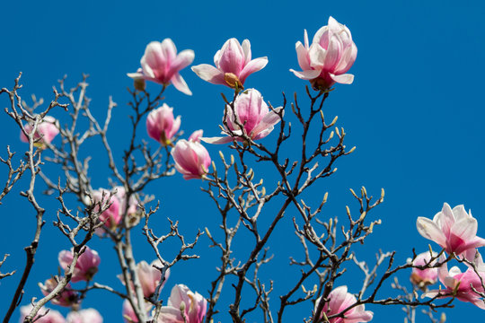beautiful pink magnolia in full bloom against a bright blue sky in spring