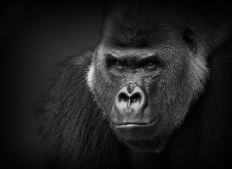 Foto op Textielframe Aap Gorilla portrait in black and white. Closeup of a dangerous-looking silverback.