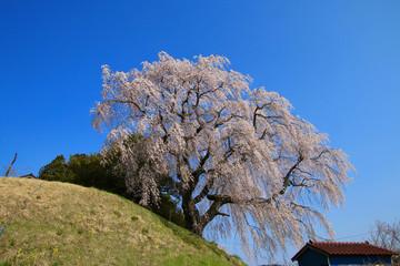 蛇盛塚のしだれ桜(福島県・田村市)