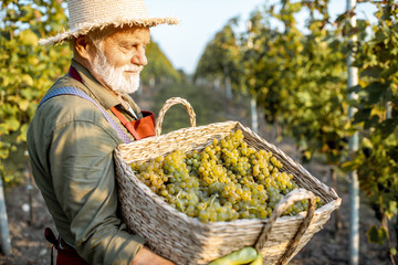 Wall Murals Vineyard Portrait of a senior well-dressed winemaker with basket full of freshly picked up wine grapes, harvesting on the vineyard during a sunny evening
