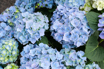 Spoed Fotobehang Hydrangea blue flower heads of hydrangea macrophylla or hortensia