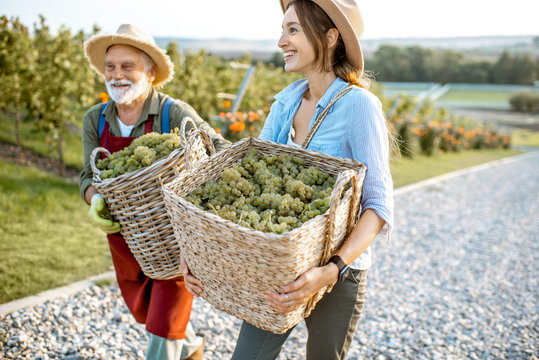 Cheerful senior man with young woman carrying baskets full of freshly picked up wine grapes on the vineyard, harvesting fresh crop. Family business concept