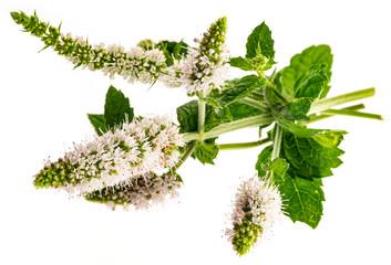 Wall Mural - Flower of mint, (Mentha herb)