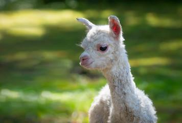 Portrait Alpaka Baby