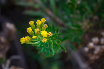 Allagopappus canariensis , endemic Canarian flower, Canary islands, Spain