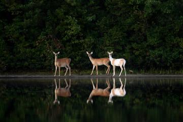 Poster Deer Piebald Deer and Reflection