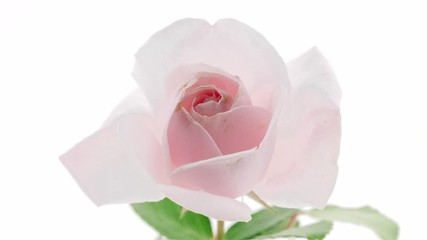 Fotoväggar - Beautiful pink rose isolated on white background. Blooming rose flower open, time lapse, closeup. Floral backdrop, Valentine's Day concept. Timelapse. 3840X2160 4K UHD video footage