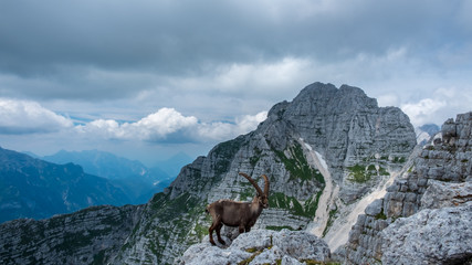 Steinbocks in the Julian alps