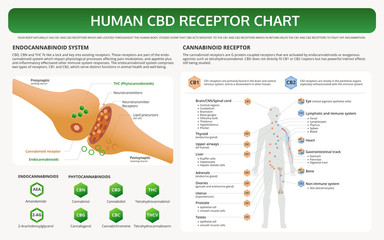 Human CBD Receptor Chart horizontal textbook infographic illustration about cannabis as herbal alternative medicine and chemical therapy, healthcare and medical science vector.