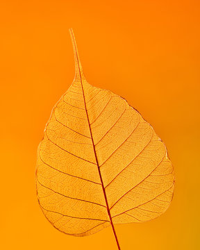 Beautiful natural detailed leaf pattern through the light on an orange background with copy space. Macro photo. Flat lay