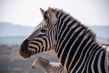 Fotobehang Zebra close up of zebra